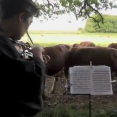 Watch: Cellist Jacob Shaw performs for a herd of cattle in Danish countryside