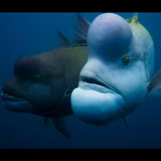 Watch: Meet the sex-shifting Kobudai fish, which can switch from female to male permanently