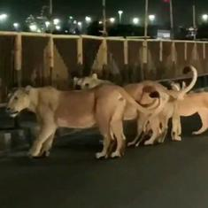 Caught on camera: Group of lions spotted walking on the streets of Amreli city in Gujarat at night