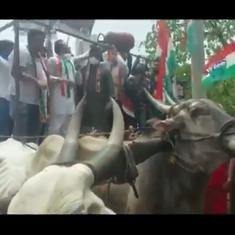 Watch: Bullock cart carrying Congress workers protesting against fuel hike collapses