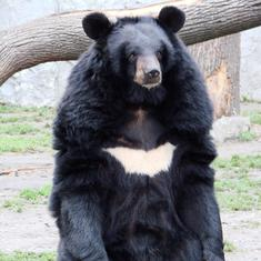 Across the Himalayas, rising temperatures are destroying the habitat of the Asiatic black bear