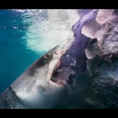 Watch: Great white and blue sharks spot and feast on whale killed after collision with ship