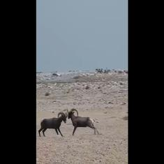 Watch: Bighorn sheep butt horns by large lake in Nevada, US