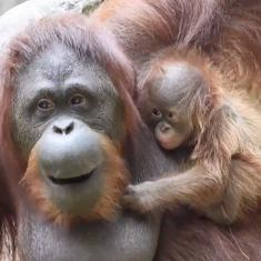Watch: Newborn orangutan entertains visitors, conservationists at zoo in Spain