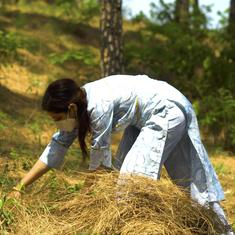 Eco India: To fight forest fires in Himachal Pradesh, locals use flammable pine needles to make fuel