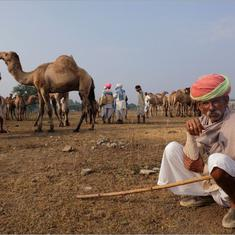 In Rajasthan, the law to protect the camel is contributing to its decline
