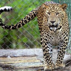 Podcast: A wildlife researcher explains how Mumbai's leopards see the city