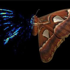 How moths use decoys to dodge bat attacks