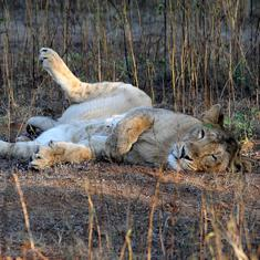 At least 21 lions at Gir sanctuary infected with canine distemper virus: Medical research council