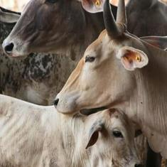 Centre plans to establish a 'cow circuit' to promote bovine tourism: Report