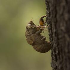 Sounds of cicadas: A loud but under-studied insect is finally getting attention